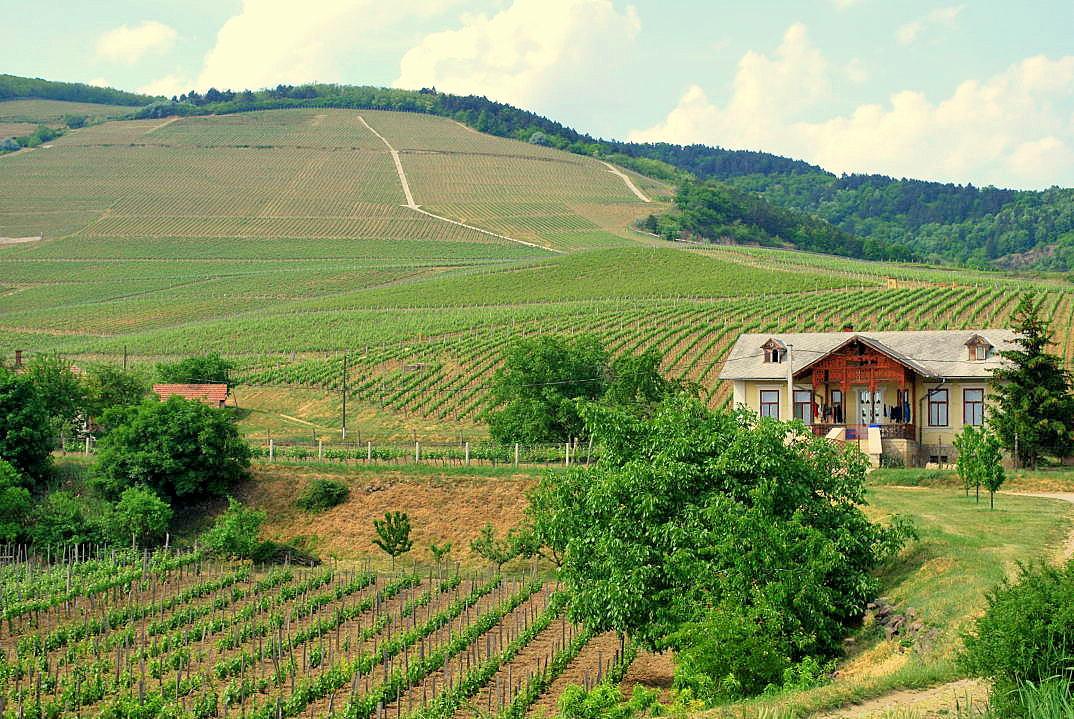 tokaj wijngebied hongarije 01